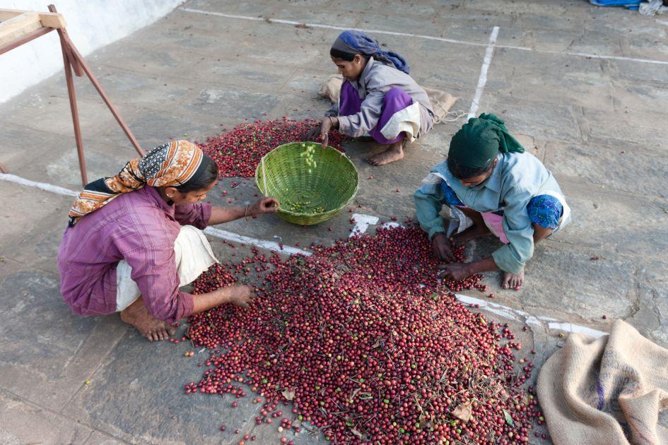 Kaffeepflückerinnen beim Sortieren von Kaffeekirschen auf der Palthope Farm in Indien.