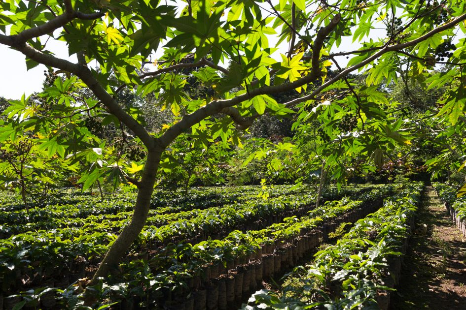 Junge Kaffeepflanzen in der Nursery auf der Finca Hamburgo in Mexiko. Aufgereiht unter Schattenbäumen.