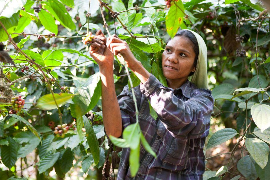 Kaffeepflückerin beim Picken der reifen Kaffeekirschen auf der Palthopefarm in Indien.