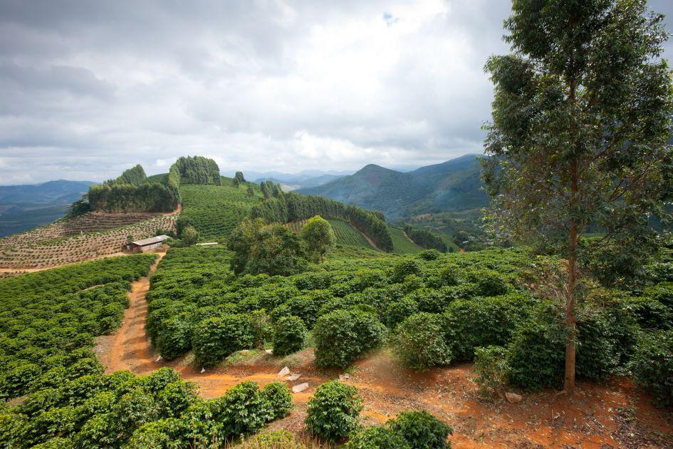 Landschaftsaufnahme eines Hügels auf der Fazendas Dutra. Ein Weg  führt zwischen Kaffeefeldern bis auf den Hügel.