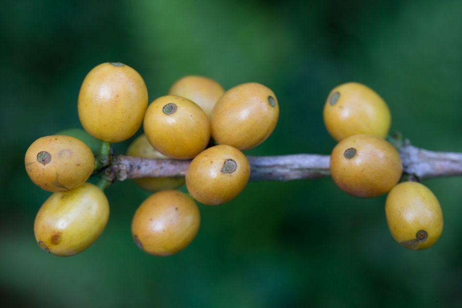 gelbe reife Kaffeekirschen an einem Zweig vor einem unscharfen Hintergrund.