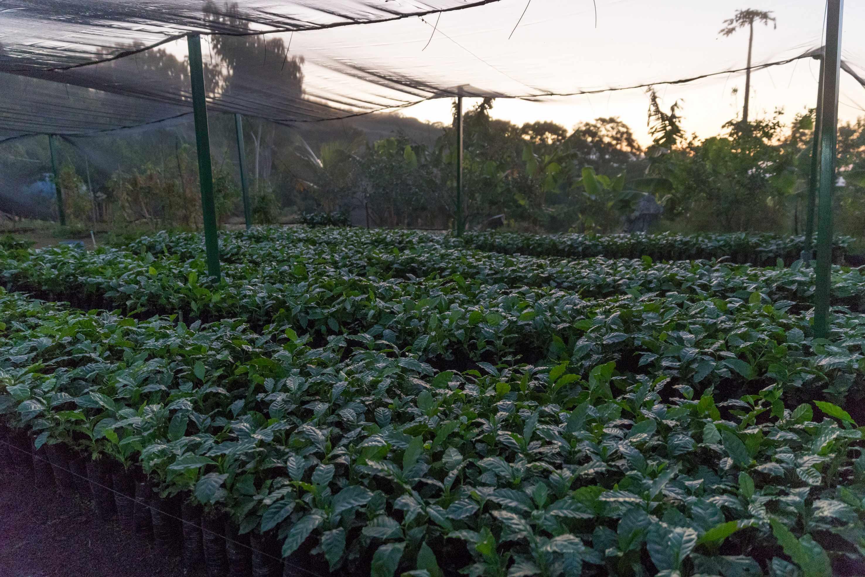 Junge Kaffeepflanzen unter Netzen, die Schatten spenden. Nursery für Kaffeepflanzen in Chinameca.